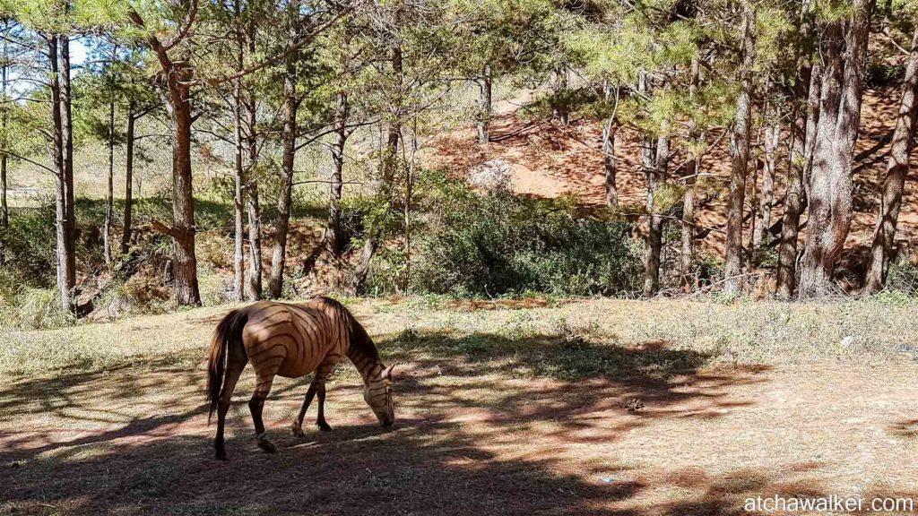 Cheval déguisé en zèbre... - Bidoup National Park - Dalat