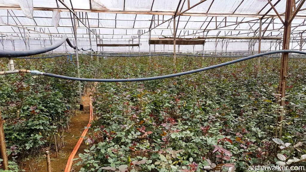 Avec des roses dedans - Dalat