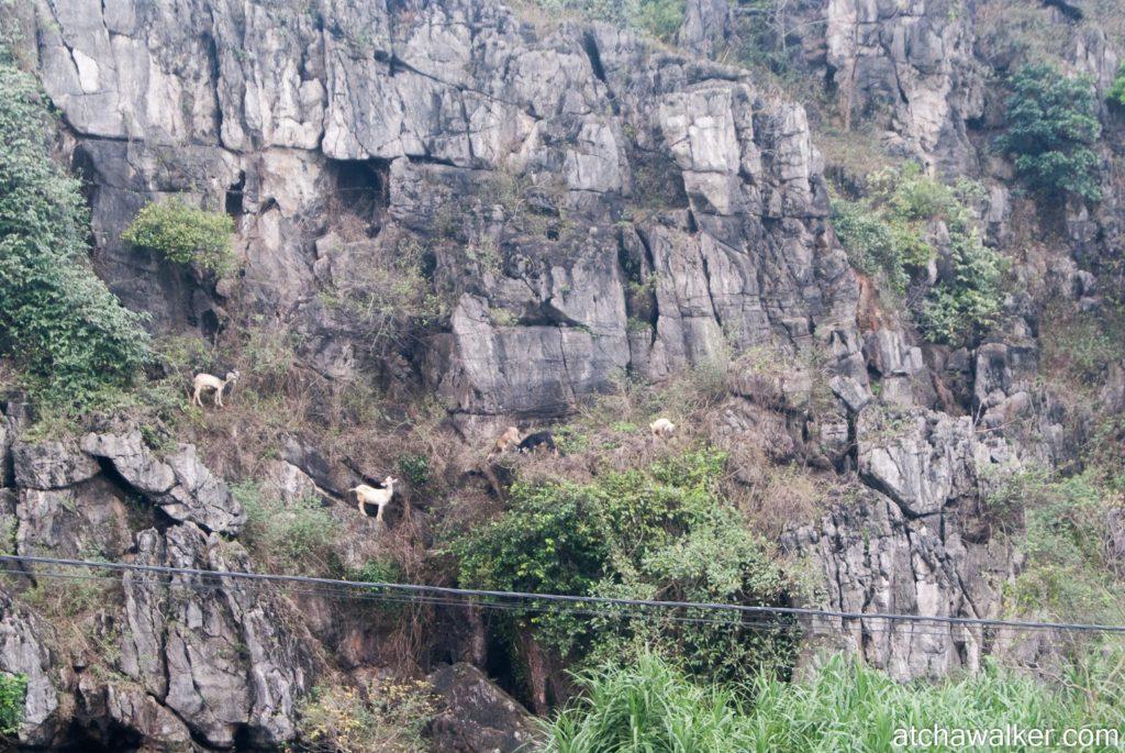 Les biquettes font de la grimpette - Ninh Binh