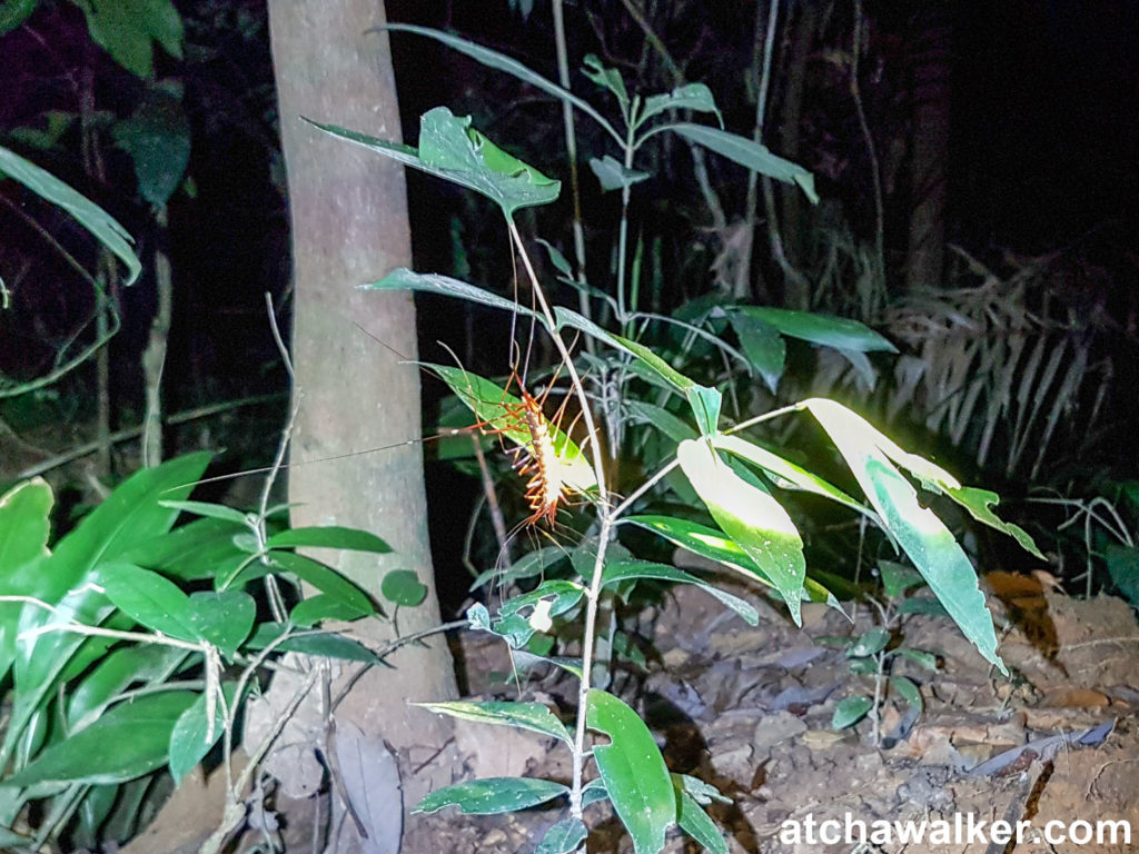Un centipède - Taman Negara - Malaisie