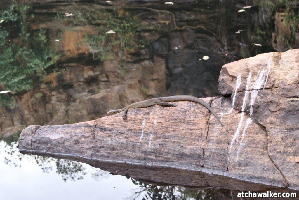 Un varan sur son rocher à la Galvans Gorge