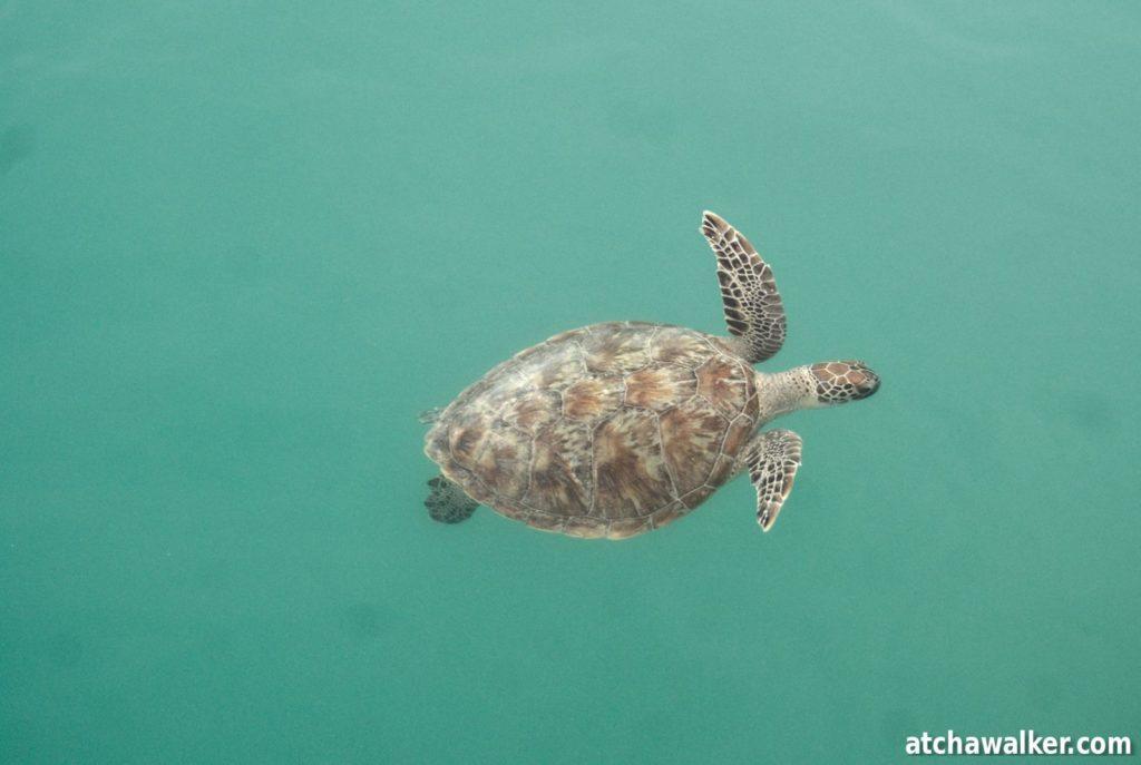 En attendant que les dauphins se décident à montrer leurs ailerons, j'ai tout le loisir d'observer cette belle tortue depuis le ponton.